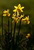 Jonquilles (Mikl - Concept-Photo.fr (CRBR)) Tags: narcisse botanique jonquille wow1 wow2