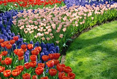 Colorful Tulips in Keukenhof Garden (Dragos Cosmin- Getty Images Artist) Tags: park travel pink blue red orange sunlight white plant flower holland tree tourism nature water netherlands floral beauty dutch field amsterdam yellow gardens rural garden season landscape outside outdoors drops spring bed flora europe exterior place purple natural blossom outdoor many background decoration scenic culture scene growth abundant national daffodil tulip western vegetation ornamental abundance striped hyacinth tulipa narcissus keukenhof blooming hyacinthus lisse keukenhofgardens