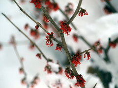 Snow & Red Berries (Claudio Cantonetti) Tags: winter red snow cold flower nature weather garden bush berries blossom bloom buds