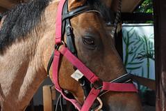 long time no see (bruna burlamaqui c.b) Tags: pink horse baio bay rosa pony trophy stable cavalo equestrian christus bridle hpica trofu trohpy pnei equestre cabeada estbulo gateado