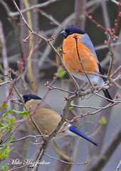 BF 170 ~ Bullfinches. Male (top) and Female feeding on Buckthorn buds ~ (Mike Hazzledine ... Having Problems Again !!) Tags: birds garden finches bullfinch passerines allofnatureswildlifelevel1 allofnatureswildlifelevel2 allofnatureswildlifelevel3