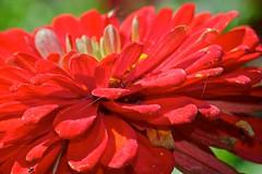 Looking through (Deb Jones1) Tags: red nature floral beauty canon garden botanical outdoors flora parks bloom flickrduel debjones1