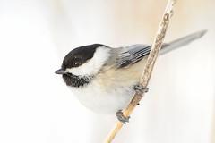 Black-capped Chickadee (affinity579) Tags: winter wild bird nature closeup nikon quebec wildlife small profile chickadee blackcappedchickadee specanimal d700 2xtelelconverter