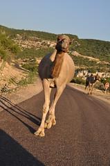 Cammello in sorpasso (Hicham Charqane) Tags: nikon natura marocco fiori sole viaggi deserto d5000 charqane hichama