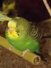 Sleepy Parakeet (M.P.N.texan) Tags: sleeping green bird sleep parakeet pictureperfect petstore cagedbird theenchantedcarousel