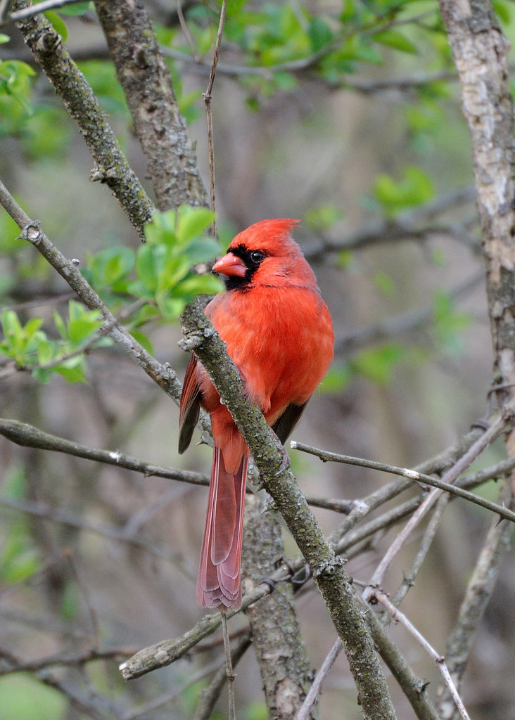 Northern Cardinal in woods