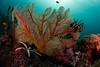 reef9351 (gerb) Tags: ocean fish water topv111 510fav island topv555 topv333 underwater starfish scuba reef tvp softcoral anthias similanislands featherstar aquatica seafan d7000 sigma1017fe