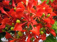 flamboyan.. (susyyyy) Tags: flores rojo canarias tenerife rosso canaryislands flamboyan canarie arboldelfuego