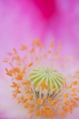 Flying Circus (Benjamin Postlewait) Tags: pink flowers summer flower yellow lensbaby nikon purple august poppy wildflower blahblahblah lensbabymacro nikond80 croppingissues maybesomeothertime wordytonight maybeillstartcroppingafterthis wasgonnadoa1butno