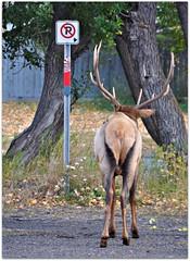 Hey, no parking ........ (Stella Blu) Tags: stella canada animal sign blu wildlife frombehind urbannature banff elk thumbsup banffnationalpark gamewinner nikkor18200 thechallengefactory yourockwinner nikond5000 herowinner storybookwinner pregamewinner