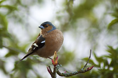 Male Chaffinch 14th-April-12 (15/52) (linlaw39) Tags: tree bird nature animal closeup scotland spring branch aberdeenshire bokeh wildlife 2012 chaffinch week15 lindal aperturepriority 70300mmlens mintlaw canoneos500d april2012 522012 52weeksthe2012edition weekofapril8 14042012