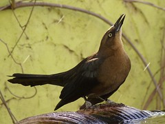 Female Great-Tailed Grackle (pawightm (Patricia)) Tags: austin texas ngc npc centraltexas femalegreattailedgrackle pawightm birdsatfountain ss853842