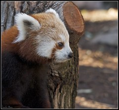 Red Panda Cuteness [Explored] March 4, 2012 #400 (Jennifer Allwine) Tags: red cute nature animal canon zoo dc washington panda sigma explore national 7d explored 150500mm
