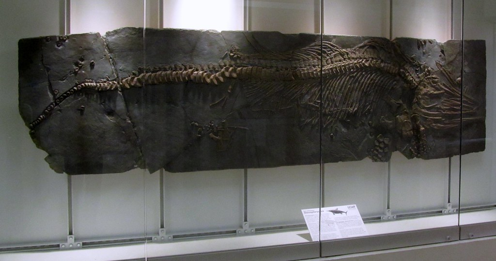 Stenopterygius Fossil Museum Of Natural History