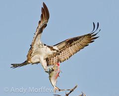 Arrival! (Andy Morffew) Tags: fish male nest florida osprey bif arriving marcoisland tigertailbeach birdperfect onlythebestofnature blinkagain bestofblinkwinners andymorffew morffew