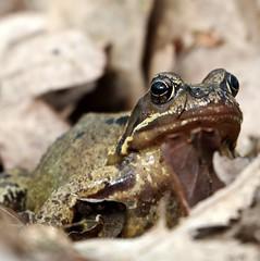 Peek-A-Boo Frog (Ger Bosma) Tags: kikker ranatemporaria grasfrosch commonfrog bruinekikker grenouillerousse europeancommonfrog europeancommonbrownfrog ranabermeja ranamontana mygearandme mygearandmepremium mygearandmebronze ringexcellence ranaalpina flickrstruereflection1 img350341a