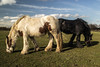 Back to back (richboxfrenzy) Tags: eatinggrass horsehorseyhorseyneigh
