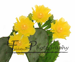 Cactus Flower (Lee6713) Tags: cactus white plant flower macro green nature floral yellow flora desert blossom background object sharp petal whitebackground spine botany prickly isolated