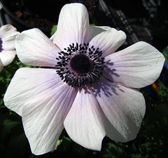 Anenome (Misty Jane) Tags: ngc supershot