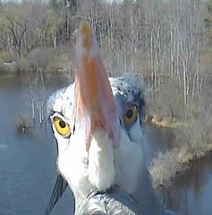Great Blue Heron (Laura Erickson) Tags: