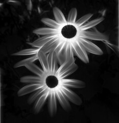 Two Flowers (arbyreed) Tags: blackandwhite bw flower closeup close processed flowermacro fractalius arbyreed