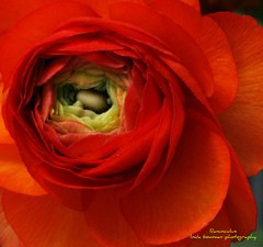 Red petals (lynne_b) Tags: flower nature floral petals illinois spring flora seasons blossom ranunculus archives bloom layers redflower springtime blooming springflower