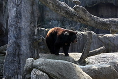 Bear Exhibit (Marlisa Osborne) Tags: zoo knoxville