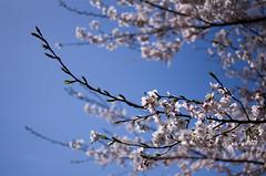 IMGP6877 (Amad) Tags: flower japan spring   sakura kiryu