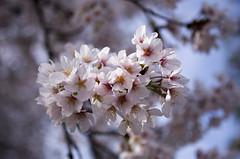 IMGP6913 (Aḥmad) Tags: flower japan spring 桜 日本 sakura kiryu زهرة 春 さくら ساكورا ربيع 桐生 يابان gettyimagesjapan12q2
