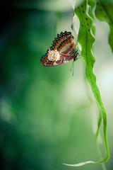 [Explored] Butterfly (Cyrielle Beaubois) Tags: canada butterfly garden spring bokeh montreal go free explore qubec botanic printemps jardinbotanique explored 2013 canoneos5dmarkii freebutterflies cyriellebeaubois