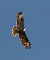 Buzzard (Explored) (Esox2402) Tags: sky bird birds wales canon garden countryside photos 300mm buzzard airborne birdsofprey bif 550d canonef300mmf4lisusm