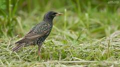 storno in cattura (taronik) Tags: natura uccelli animali storno cacciafotografica blinkagain allofnatureswildlifelevel1 me2youphotographylevel1