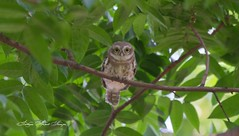 Spotted Owlet (Athene brama) (Imthyas Ahmed Shirajee) Tags: bird nature birds canon photography eos university photographer wildlife ngc photographers delta east 7d spotted ahmed ctg bangladesh athene bangla wildlifephotographer birdwatcher chittagong ngg owlet brama imti spottedowlet athenebrama pakhi canon70300isusm canonef70300mmf456isusm birdsofbangladesh canoneos7d spottedowletathenebrama chattagram canonbangladesh imthyas shirajee mehidibag imthyasahmedshirajee eastdeltauniversity