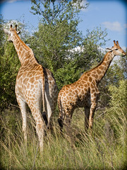 Giraffes, Pilanesberg (andbog) Tags: nature animal canon southafrica nationalpark wildlife natura powershot giraffe za giraffa compactcamera g12 pilanesberg sudafrica northwestprovince canong12