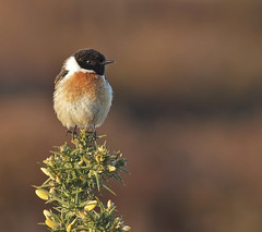Stonechat male (Paul Green Photography) Tags: nature wildlife stonechat nbw canonef400mmf56lusm canon7d paulgreenbirdphotography