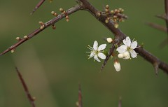 Blackthorn (Sloe) blossom (Deanster1983 who's mostly off for a while) Tags: flower tree nature photo bush blossom shrub blackthorn sloe