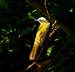 We'll build the nest here! (ltimothy on/off) Tags: bird costarica frontpage socialflycatcher explored pechoamarillo sabadoanimal