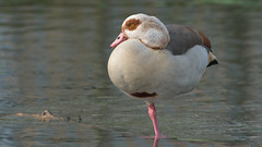 Egyptian Goose (image 1 of 4) (Full Moon Images) Tags: bird nature river geese wildlife goose egyptian waterfowl thetford