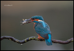 Kingfisher Male (Alcedo atthis) BBC Nature 16/04/2014 (Col-Page) Tags: ngc