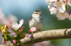 7K8A4464 (rpealit) Tags: bird nature scenery wildlife sparrow chipping hatchery pequest