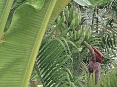 Musa spec 2 (heinvanwinkel) Tags: malaysia juli 2009 rawa musaceae banaan liliopsida magnoliophyta zingiberales spermatophyta tracheophyta commelinids euphyllophyta mesangiospermae musaspec bloemvandedag petrosaviidae