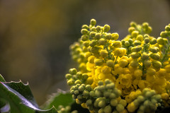 Smooth Yellow (*Capture the Moment*) Tags: flowers munich mnchen bokeh pflanzen blumen botanicgardens 2016 botanischergarten meyergrlitztrioplan10028 seifenblasenbokeh