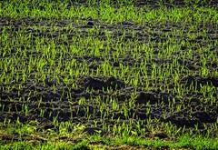 Spring growth (frankmh) Tags: green field skne sweden outdoor seed growth helsingborg hittarp