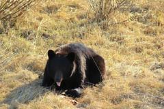 Black bear (Chalicerae) Tags: bear nature spring manitoba roadside blackbear canon60d youngbear highway391n