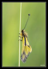 Ascalaphe - ailes replies (M@P31) Tags: france macro insecte 2016 hautegaronne muret tamron90macro ascalaphidae libelloidescoccajus ascalaphesoufr sonya77 owlysulphur