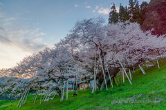 (kimtetsu) Tags: japan spring jp  cherryblossom  takayama  gifu