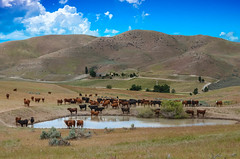 Open Range (http://fineartamerica.com/profiles/robert-bales.ht) Tags: ranch sky people usa mountain west green nature water field grass animal animals clouds rural fence landscape outdoors countryside cow photo pond flickr open cattle cows outdoor farm beef fineart country farming scenic meadow peaceful places panoramic hills idaho winery southern pasture valley western environment states prairie steer agriculture grassland livestock range herd rolling grazing rollinghills openrange haybales ranching steers freerange imagekind gemcounty farmlandscape photouploads robertbales