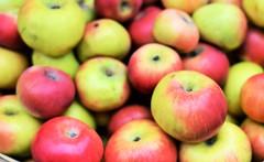 Ooty Apple (Smevin Paul - Thrisookaran !! www.smevin.com) Tags:  india apple paul photography tamil ooty nadu smevin smevins thrisookaran