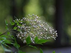 Nandina Flowers (bamboosage) Tags: germany m42 100 28 preset meyeroptik trioplan