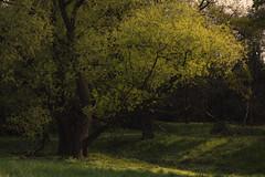 Daydreams (Netsrak) Tags: trees light shadow tree green nature grass leaves yellow river de landscape deutschland licht leaf spring outdoor natur gelb gras grn fluss blatt landschaft bltter bume schatten baum nordrheinwestfalen frhling sieg sanktaugustin